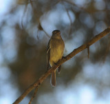possible Pine Flycatcher_5_Moxviquil