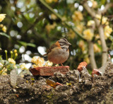 Rufous-collared Sparrow_1_Moxviquil