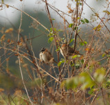 Rufous-collared Sparrow_1_San Cristobal area