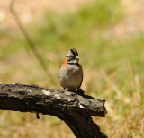Rufous-collared Sparrow_2_Moxviquil