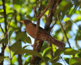 Rufous-collared Thrush_female_Moxviquil