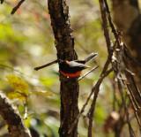 Slate-throated Redstart_2_Moxquivil