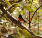 Slate-throated Redstart_3_Moxquivil