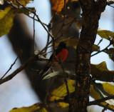 Slate-throated Redstart_4_Moxquivil