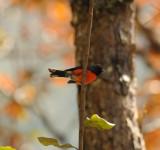 Slate-throated Redstart_Moxquivil