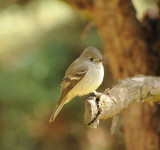 Traills Flycatcher_1_Moxviquil