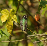 White-eared Hummingbird_female_Moxviquil