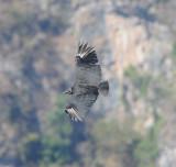 Black Vulture_3_El Sumidero