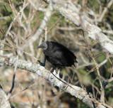 Black Vulture_6_El Sumidero