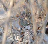 Lesser Ground Cuckoo_El Sumidero