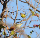 Magnolia Warbler with Tennessee Warbler_El Sumidero