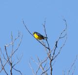 Yellow-throated Euphonia_El Sumidero