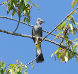 Grey Silky Flycatcher_Moxviquil_1