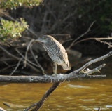 Black-crowned Night Heron_immature