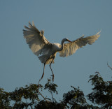 Great Egret coming in for landing