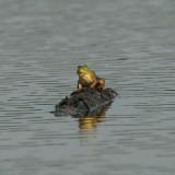 Frog_Hatchie.jpg