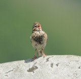 Vesper Sparrow, Round Bald at Carver's Gap