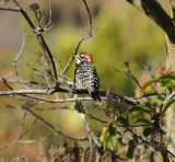 Nuttalls Woodpecker