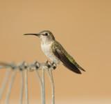Annas Hummingbird imm female