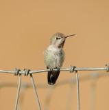 Anna's Hummingbird imm male