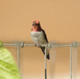 Anna's Hummingbird male