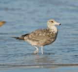 Western Gull (I think)
