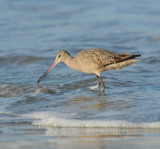 Marbled Godwit #3 of series (with worm)