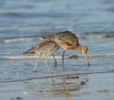 Willet and Marbled Godwit