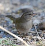 Olive Sparrow_Santa Ana_2.JPG