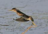Herons, Egrets, Pelicans, Shorebirds