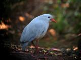 NEW CALEDONIA: Birds