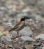 CHILE: Birds