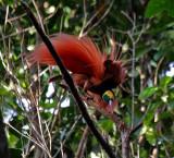 PAPUA NEW GUINEA: Birds