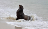 Galapagos Sea-Lion in the surf