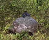 Smooth-billed-Ani-sitting-on-a-Santa-Cruz-Giant-Tortoise-IMG_8846-Finca-Mariposa-Santa-Cruz-Galapagos-13-Nov-2010.jpg