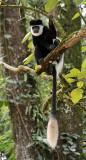 Guereza Colobus (colobus guereza)