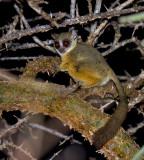 Senegal Galago (Galago senegalensis)