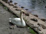 Swan .jpg