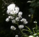 Kleinwalsertal Wiesenblumen