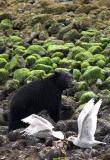Bears and Eagles of Clayoquot Sound, B.C.