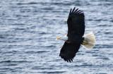 Clayoquot Sound Eagle 1