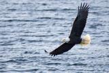 Clayoquot Sound Eagle 2