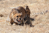 CheetahSnarl.jpg