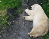 un ours blanc dans la verdure