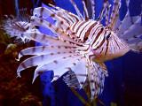 la beauté du poisson vénéneux