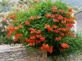 bignonia