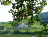 les oranges du sud