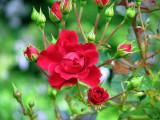 roses rouges de Métis