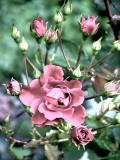 la vieille rose