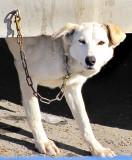 chien blanc à l'oeil orange